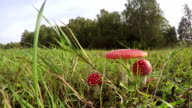 Three Amanita muscaria fly agarics growing in field, time lapse video
