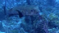 Three Bar Porcupinefish Dicotylichthys punctulatus video