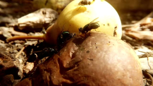 Three Big Green Flies Eat Old Pear Behind New Fruit and Many Little Flies Macro video