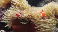 Three Clownfish and Sea Anemone video