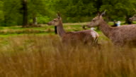 Three Deers in the picture video