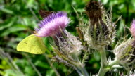 Three Different Butterflies on a Pink Thistle Plant video