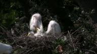 Three Egret Chicks video