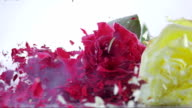 SLO MO three frozen roses shattering on white surface video