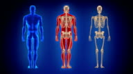 Three full length human bodies. Loopable. Alpha matte. Blue background. video
