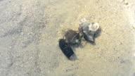 Three hermit crabs in a pond video