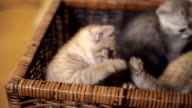 Three kittens are sitting in a basket video