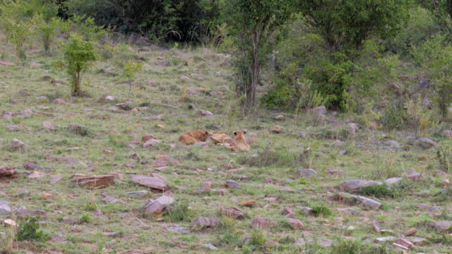 Three Lion Cub Have Fun Playing On The Grass video