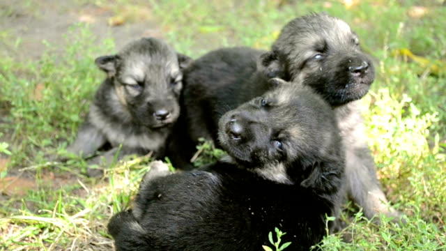 three little puppy video