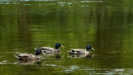 Three male ducks swimming in water video