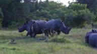 Three rhinos in the bush video