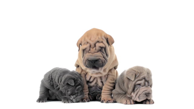 Three shar pei puppies sitting and looking around video