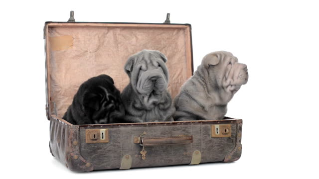 Three shar pei puppies sitting in an old suitcase video