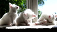 Three Small White Kittens Washes video