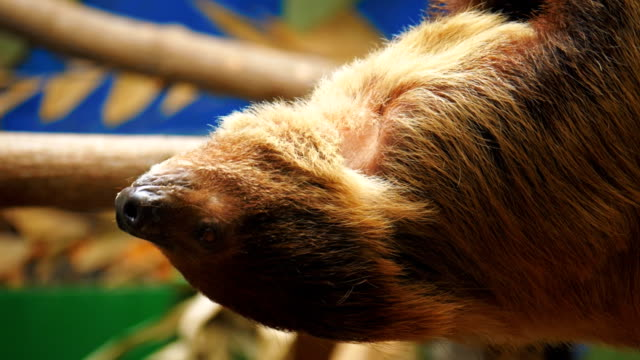 Three toed sloth hanging on a branch of a tree upside down video