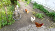 Three videos of flock of free range chickens video