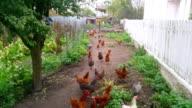 Three videos of flock of free range hens video