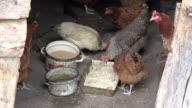 Three videos of free range chickens in 4K video
