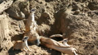 Three videos of meerkat family in 4K video