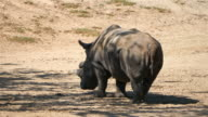 Three videos of rhinoceros in 4K video