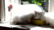 Three White fluffy Kittens are eating video