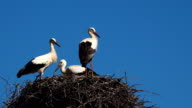 Three young white storks in nest against blue sky. video