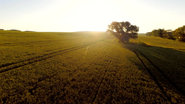 AERIAL Threes And Field Of Wheat video