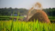 Threshing rice in Thailand. video