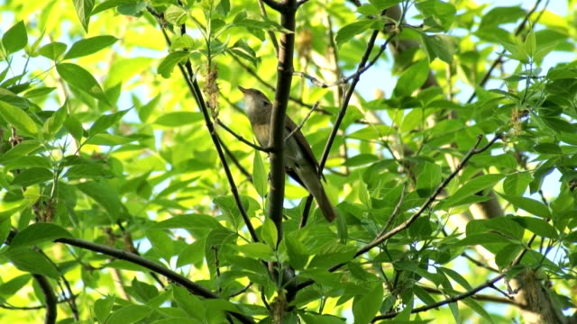 Thrush Nightingale sits on a branch and sings video