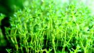 thyme herbs video