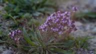 thyme plant - Thymus vulgaris video