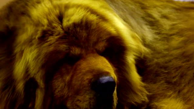 tibetan mastiff dog video