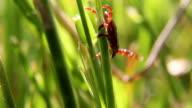 A tick crawling through the grass, macro close up video