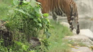 Tiger bengal living video