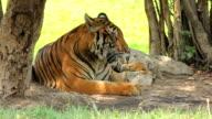 Tiger bengal sitting dodge hot weather under tree video