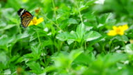 Tiger butterfly swarms on yellow sulfur cosmos flower. video
