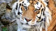 HD Tiger Close Up video
