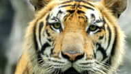 Tiger Close Up video