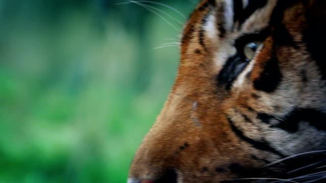 Tiger Comes Into View In The Jungle video