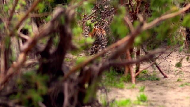 A tiger cub in a bush in zoo park video