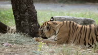 Tiger eating meat in the forest video