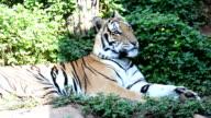 Tiger jump. video