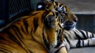 tiger kiss video