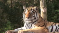 Tiger licking it's Lips - HD video