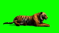 Tiger lies and looks around - green screen video