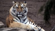 Tiger relaxing and looking to camera - 1080p video
