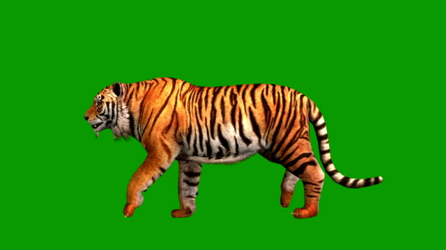 Tiger running, side view video