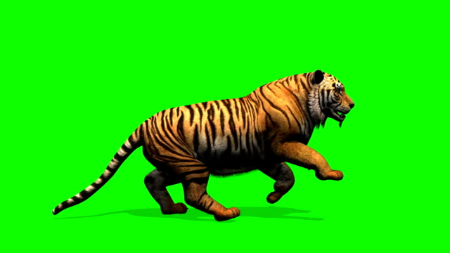 Tiger runs - green screen video
