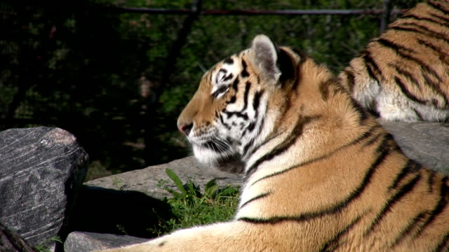 Tiger sitting like a sphinx. video