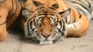 tiger sleeping video